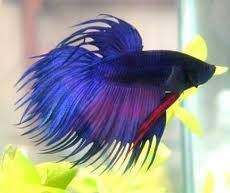 Blue Crowntail Siamese Fighting Fish 5cm