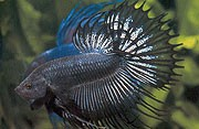 Black Crowntail Siamese Fighting Fish 5cm