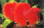 Assorted Half Moon Male Siamese Fighting Fish 5cm