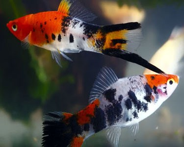 Tri Colour Swordtail 5cm