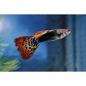 Dragon Head Male Guppy 3.5cm